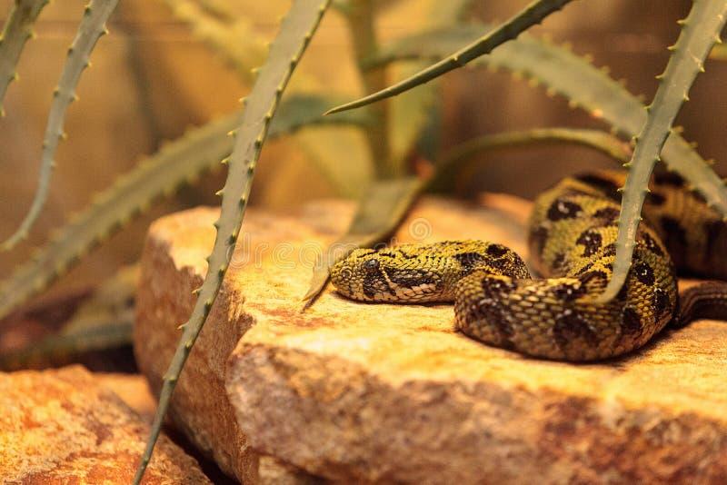 Serpiente etíope de la montaña conocida como parviocula del Bitis imagen de archivo libre de regalías