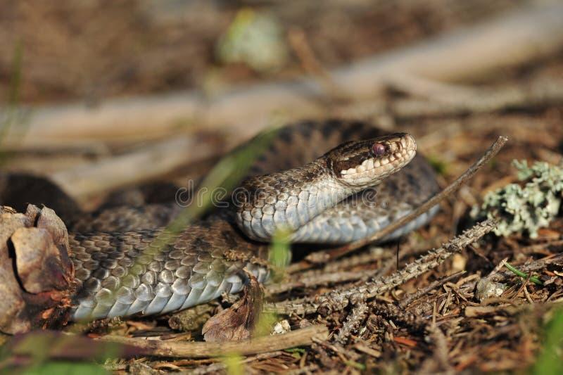 Serpiente europea común imágenes de archivo libres de regalías