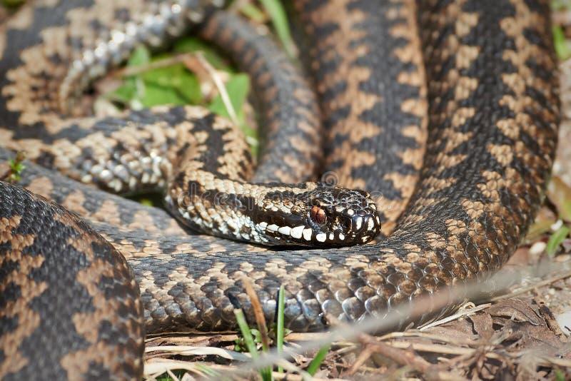 Serpiente europea común (berus del vipera) fotografía de archivo