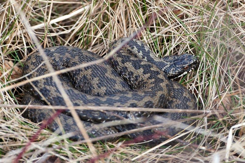 Serpiente europea común (berus del vipera) imagenes de archivo