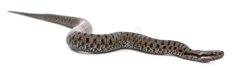 Serpiente europea común o víbora europea común, berus del Vipera imagenes de archivo