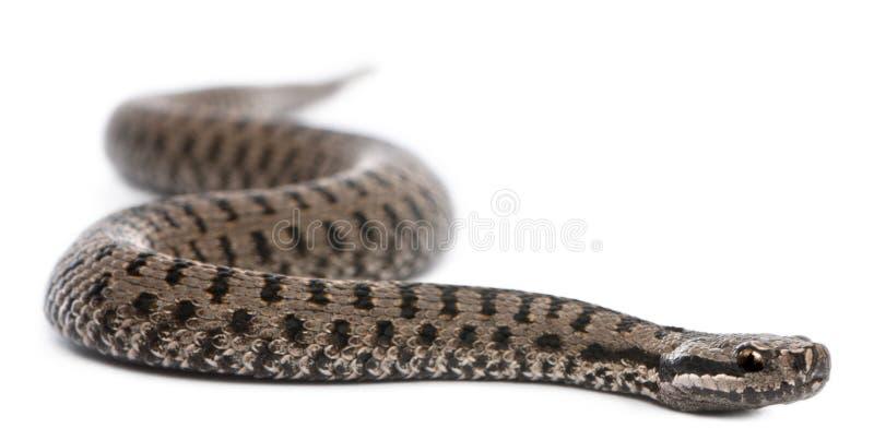Serpiente europea común o víbora europea común foto de archivo libre de regalías