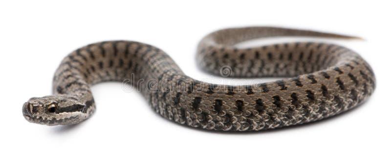 Serpiente europea común o víbora europea común foto de archivo