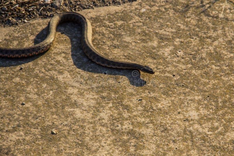 Serpiente europea, víbora común fotografía de archivo libre de regalías