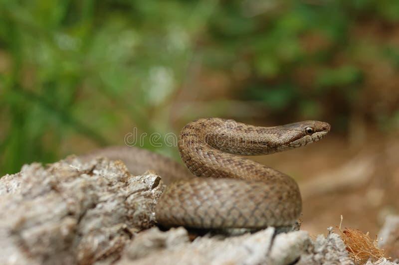 Serpiente lisa (austriaca de Coronella) imagen de archivo