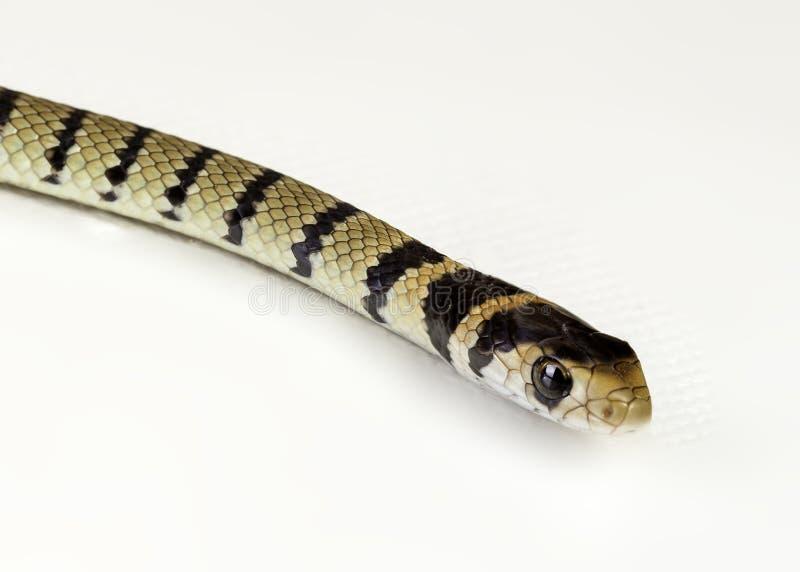 Serpiente marrón juvenil imagen de archivo