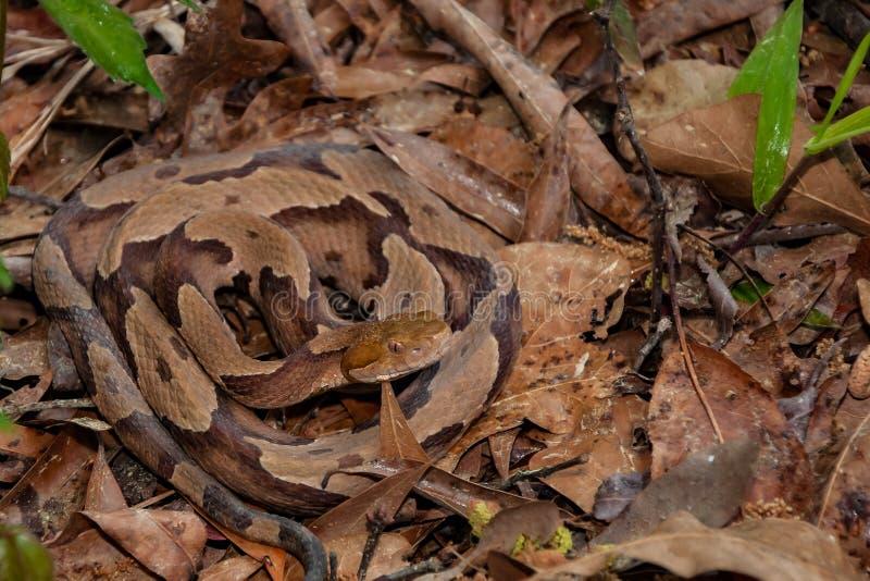 Serpiente meridional de Copperhead fotografía de archivo libre de regalías