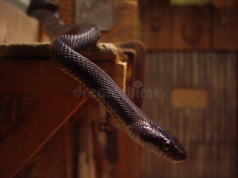 Serpiente negra fotografía de archivo