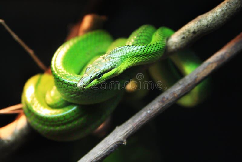 serpiente Rojo-atada del corredor foto de archivo libre de regalías