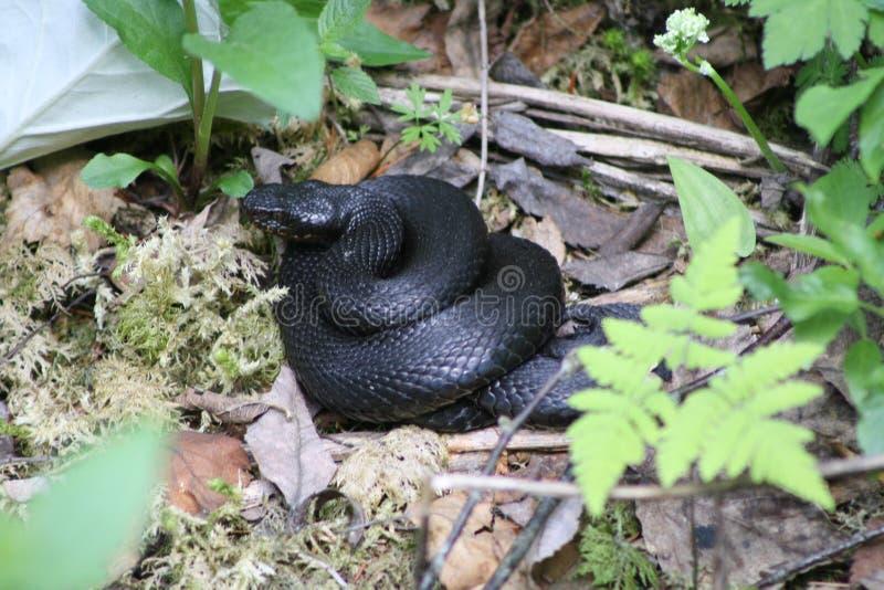 Serpiente salvaje en Austria fotos de archivo libres de regalías