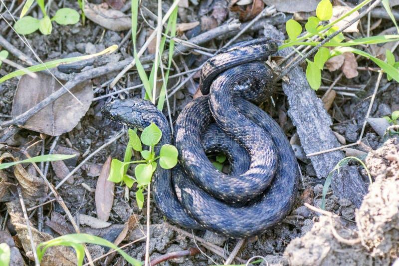Serpiente salvaje Foto ascendente cercana de la serpiente exótica en la tierra Especie del reptil Serpiente venenosa, que es extr foto de archivo