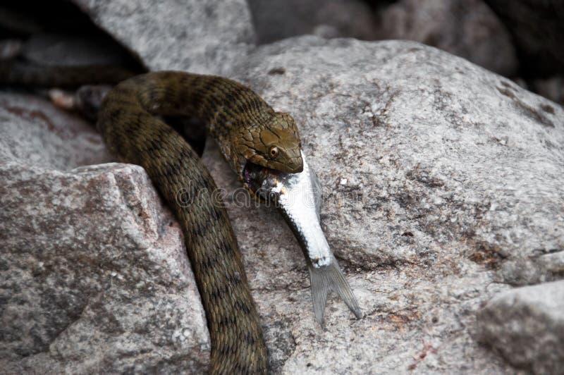 Serpiente salvaje que come pescados foto de archivo