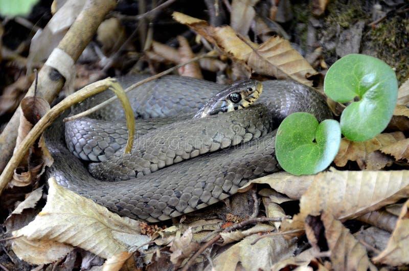 Serpiente Serpiente de hierba Croacia fotografía de archivo libre de regalías