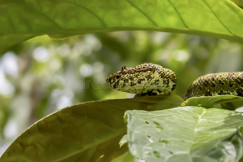 Serpiente venenosa del perfil de la víbora cercana de la pestaña en árbol de la selva fotos de archivo