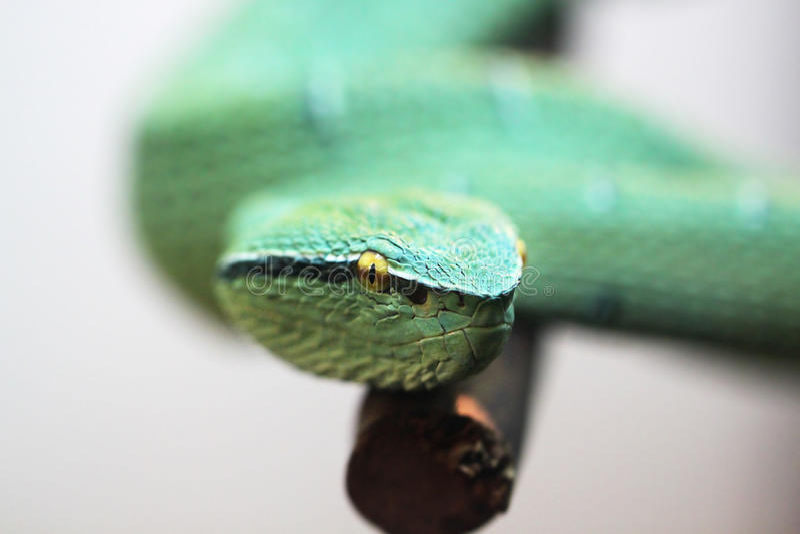 Serpiente venenosa verde fotografía de archivo libre de regalías