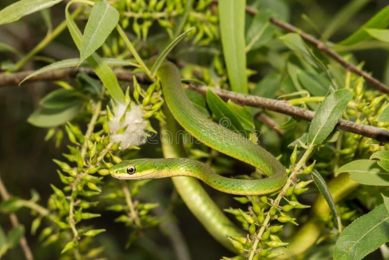 Serpiente verde áspera fotografía de archivo