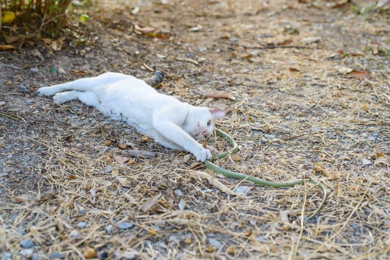 Serpiente verde de la pelea de gatos blanca en el jardín sucio desordenado, peligro fotos de archivo libres de regalías