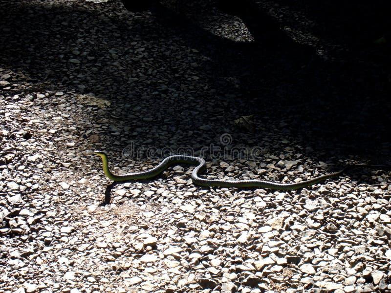 serpiente verde del árbol de Australia foto de archivo