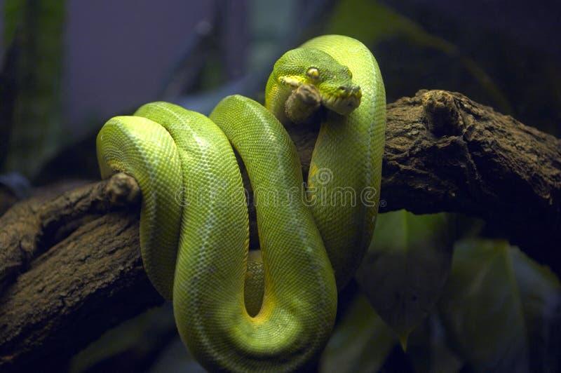 Serpiente verde en rama de árbol fotos de archivo libres de regalías