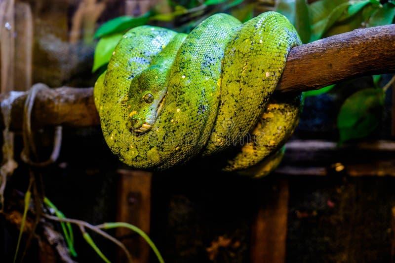 Serpiente verde en una rama fotografía de archivo
