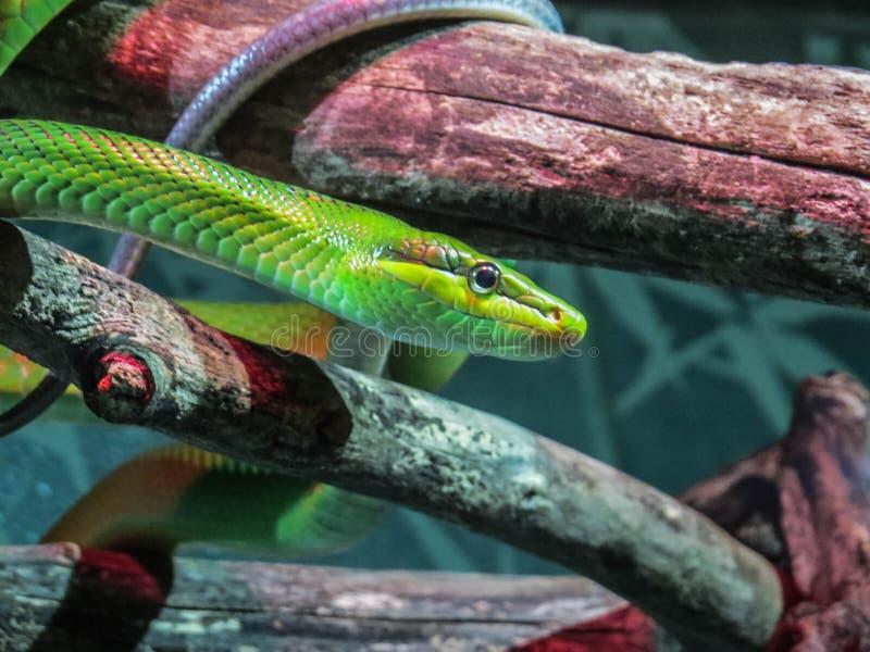 Serpiente verde lisa fotografía de archivo