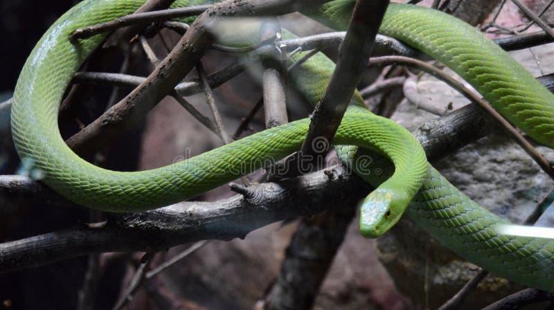 Serpiente verde que está al acecho fotografía de archivo libre de regalías