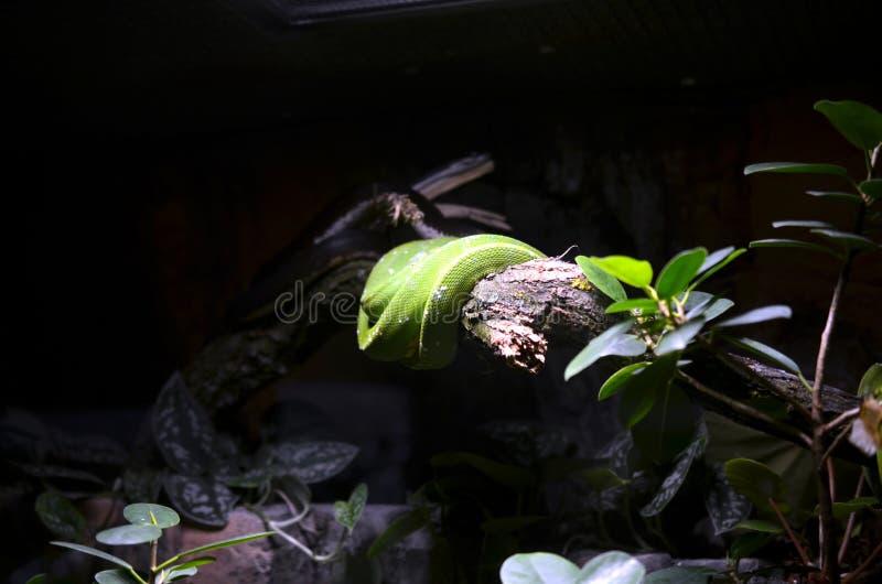 Serpiente verde wraped alrededor de árbol imagen de archivo