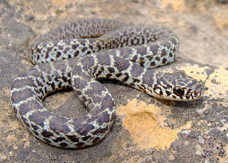 Serpiente Yellow-bellied del este juvenil del corredor imagen de archivo