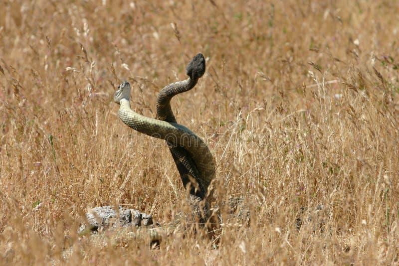 Serpientes de acoplamiento foto de archivo