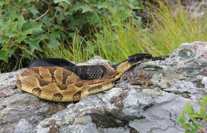 Serpientes de cascabel de madera foto de archivo