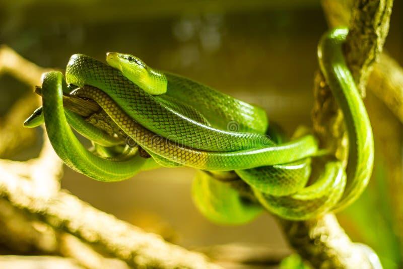 Serpientes en un terrario fotos de archivo libres de regalías