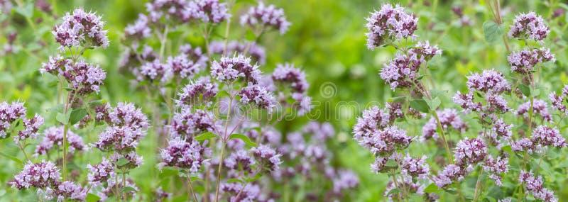 Serpyllum θύμων αδένων πανοράματος λουλουδιών, αρωματικό ιατρικό καρύκευμα εγκαταστάσεων Ταπετσαρία υποβάθρου εμβλημάτων θυμάρι μ στοκ εικόνες με δικαίωμα ελεύθερης χρήσης