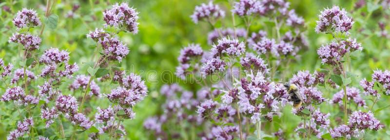 Serpyllum de thymus, bannière florale panoramique L'abeille rassemble le pollen de nectar du thym fleurissant photographie stock