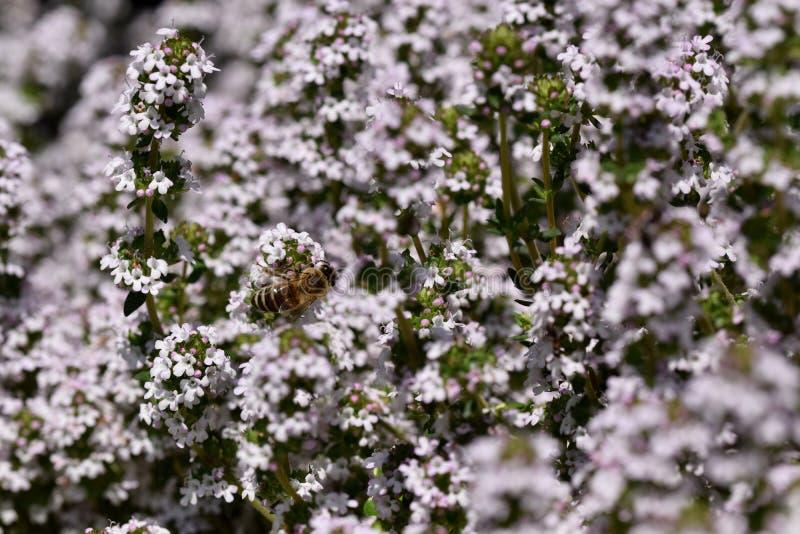 Serpyllum de thymus dans la fleur photographie stock
