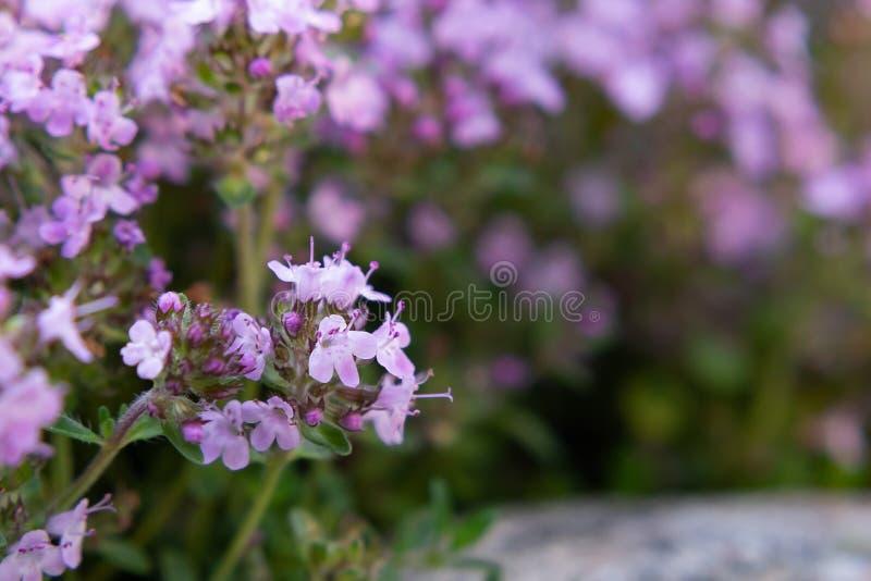 Serpyllum roxo de florescência em uma cama no jardim, fim do tomilho das flores de Groundcover acima, foco seletivo macio imagem de stock