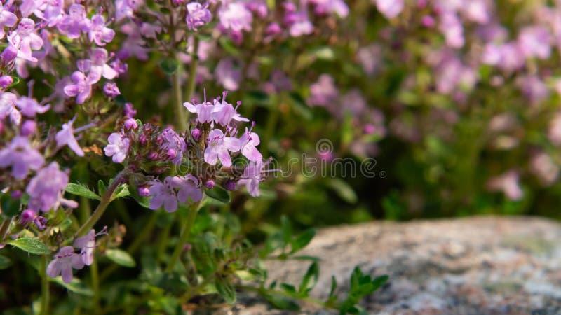 Serpyllum roxo de florescência em uma cama no jardim, fim do tomilho das flores de Groundcover acima, foco seletivo macio fotos de stock royalty free