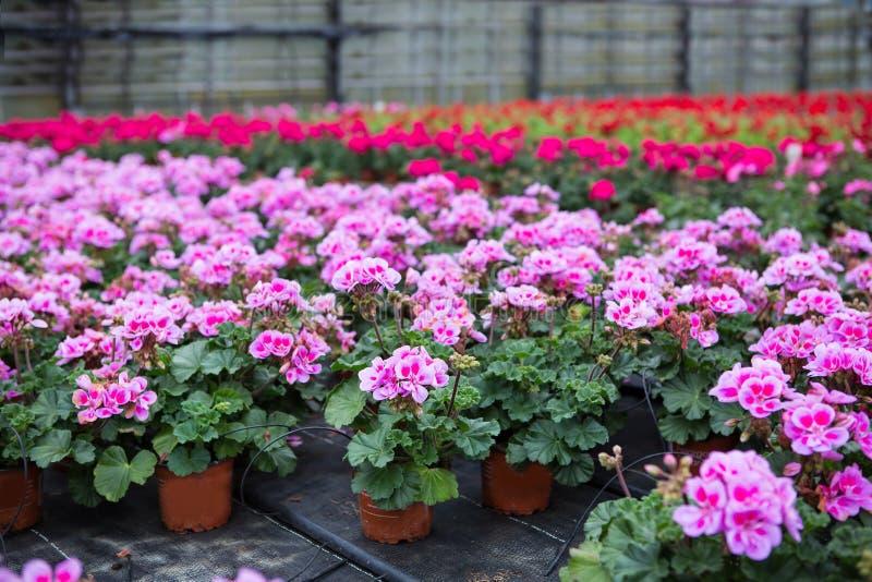 Serra con i fiori di fioritura del geranio immagini stock libere da diritti