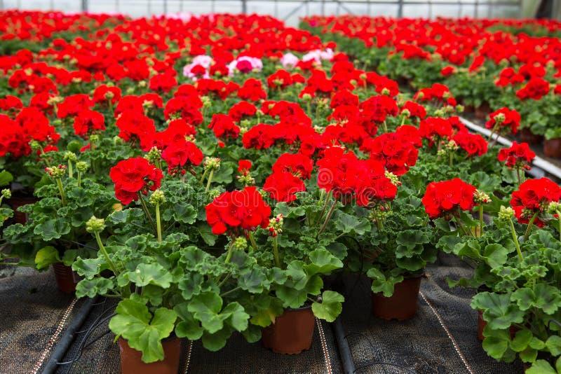 Serra con i fiori di fioritura del geranio fotografia stock