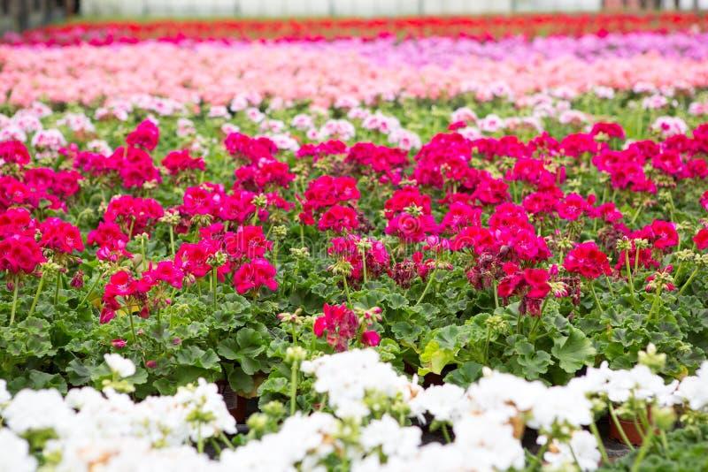 Serra con i fiori di fioritura del geranio fotografie stock