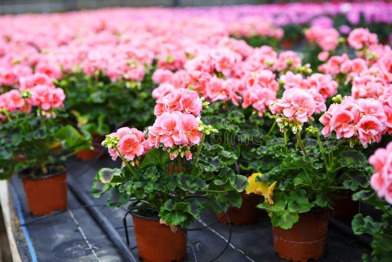Serra con i fiori di fioritura del geranio fotografie stock libere da diritti