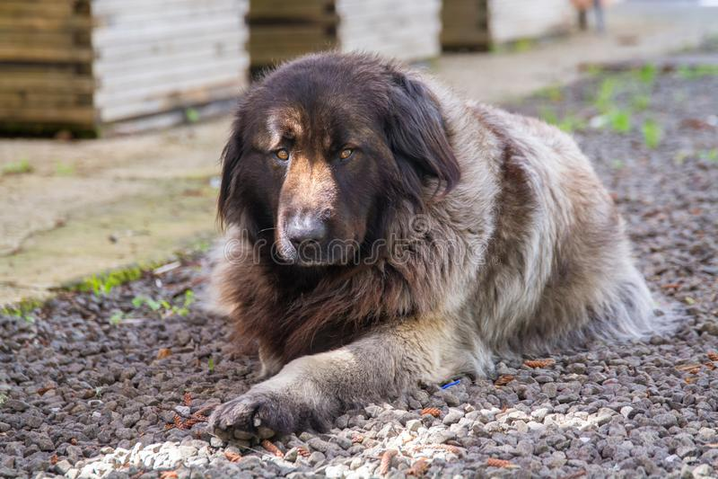 Serra da Estrala Portuguese hund arkivbilder