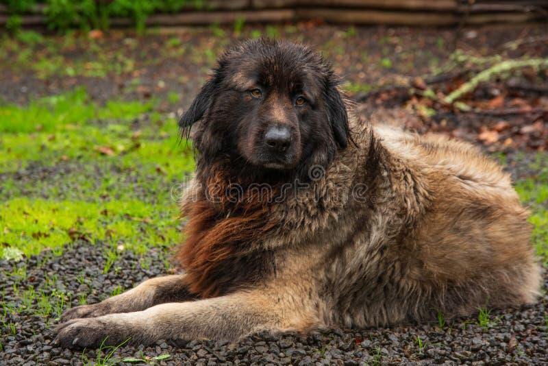 Serra da Estrela Portuguese hund royaltyfri bild