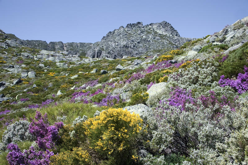 Serra da Estrela z wysokogórskimi kwiatami w Portugalia obrazy stock