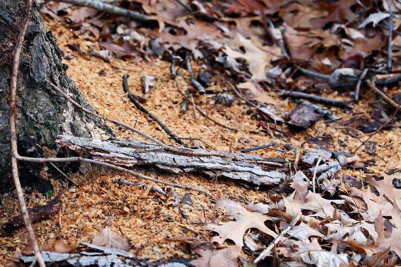 Serragem no corte da árvore de floresta fotografia de stock