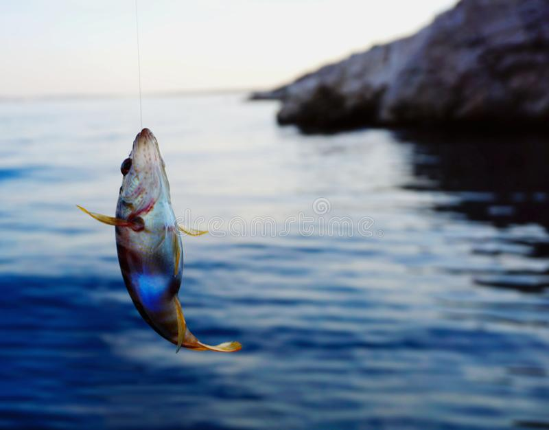 Serranus Scriba de poisson de mer sur une ligne de pêche de fil pêchée au-dessus de la surface de mer photo libre de droits