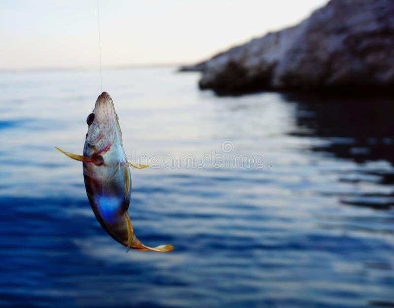 Serranus Scriba för havsfisk på en fiska trådlinje som fiskas ovanför havsyttersida royaltyfri foto