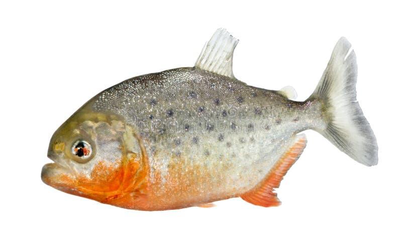 serrasalmus piranha nattereri стоковое фото rf