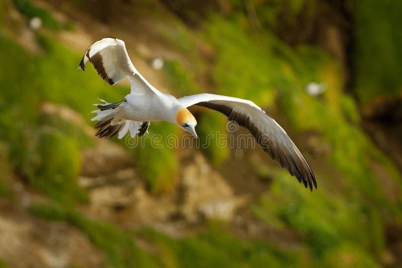 Serrator Sula - αυστραλιανό Gannet - takapu που πετά επάνω από τη να τοποθετηθεί αποικία στη Νέα Ζηλανδία στοκ φωτογραφίες