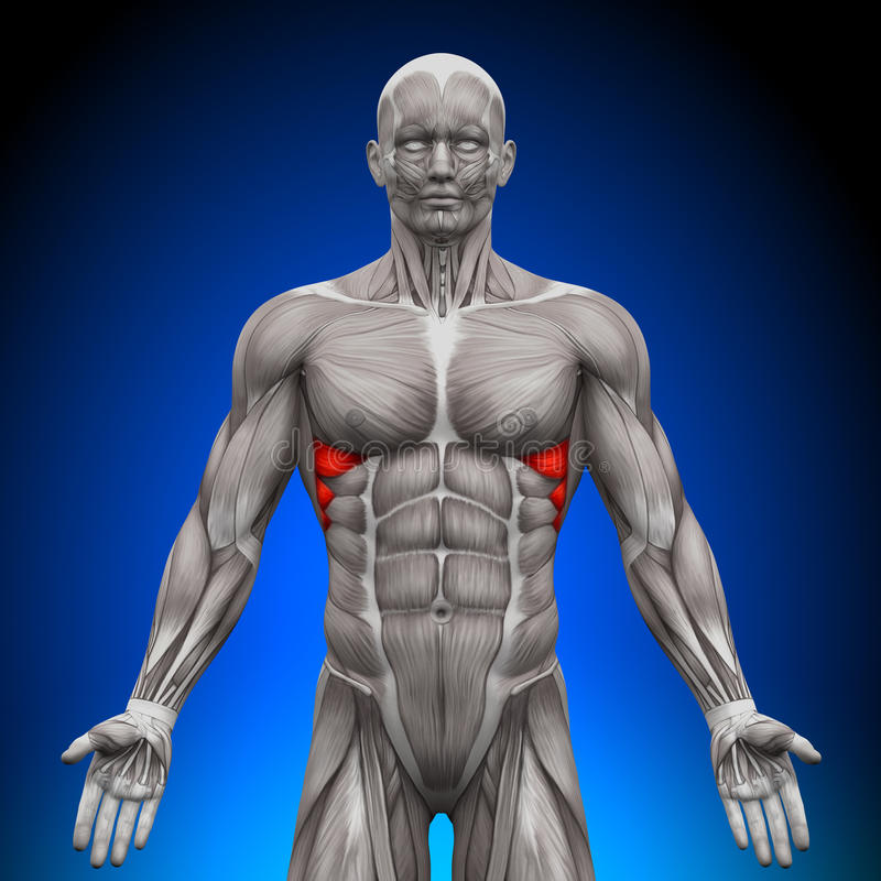 Serratus Anterior - Anatomy Muscles royalty free illustration