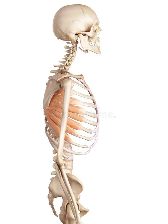 The serratus anterior. Medical accurate illustration of the serratus anterior royalty free illustration